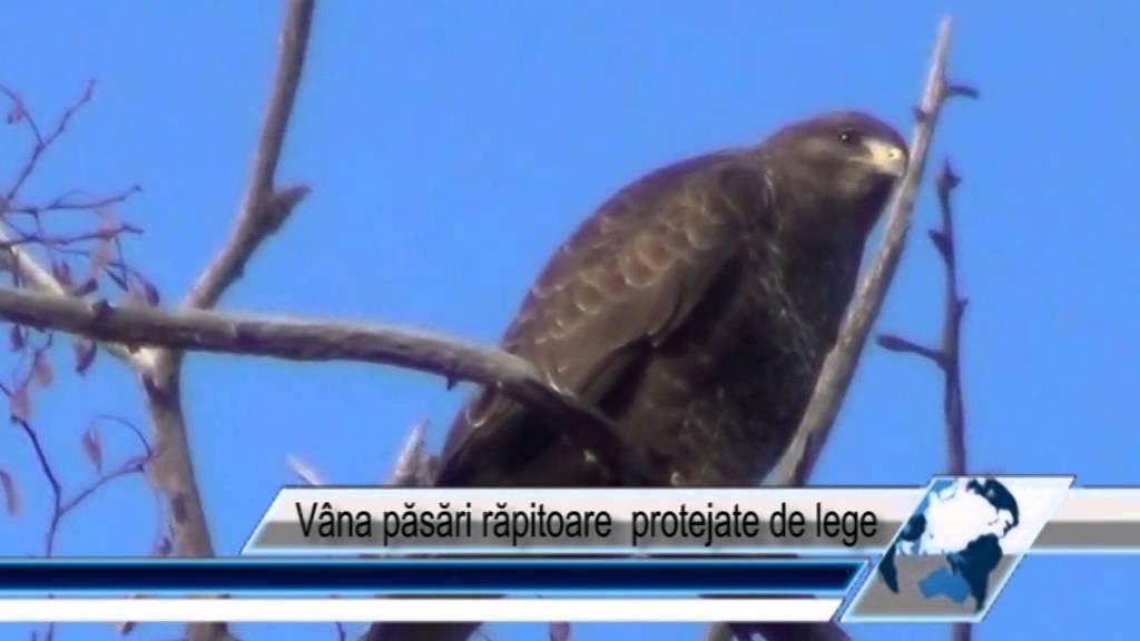 Vâna păsări răpitoare protejate de lege