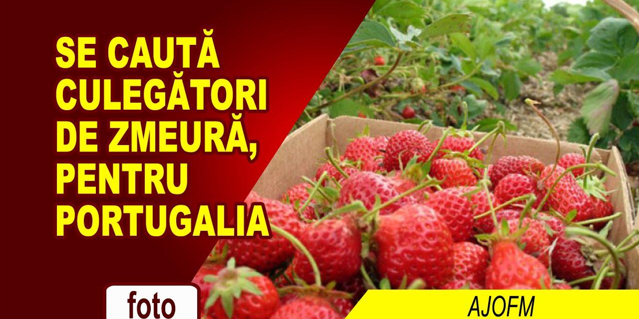 SE CAUTA CULEGĂTORI DE ZMEURĂ, PENTRU PORTUGALIA