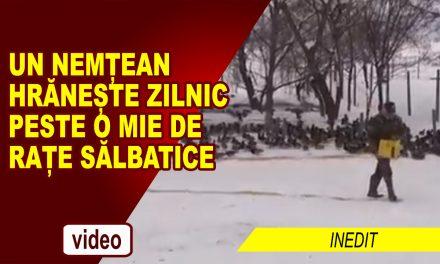 UN NEMȚEAN HRĂNEȘTE ZILNIC PESTE 1.000 DE RAȚE SĂLBATICE!